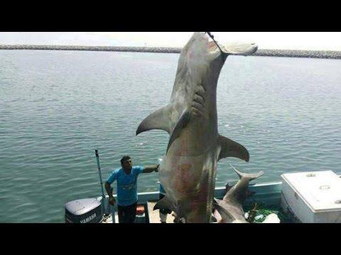 largest hammerhead shark - photo #9
