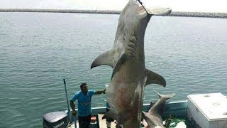 MONSTER HAMMERHEAD SHARK CAUGHT IN OMAN