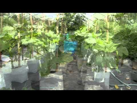 Clemson Spineless Okra Grow Bags By Crickets Greenhouse Youtube
