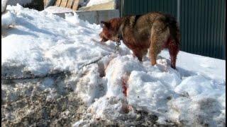 Собаку, повисшую на заборе, спасали в Хабаровске.MestoproTV