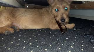 Henry, The Australian Terrier puppy dog: The battle of the reading glasses continues Part III