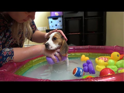 Our new puppy first bath time!: Child bathed beagle puppy for the first time