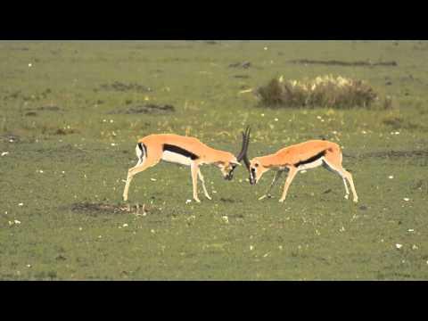 Thompson's Gazelles Fighting