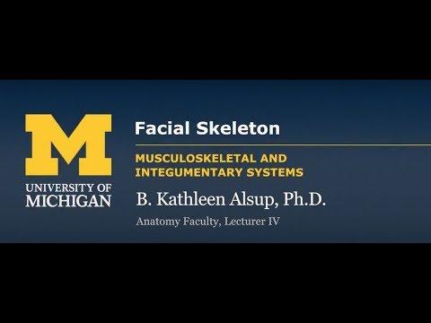 Skeletal System: Skull - Facial Skeleton