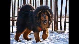 Фото самых больших собак в мире