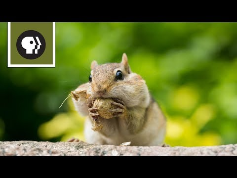 chipmunk showdown youtube