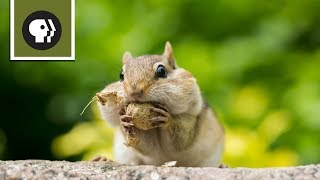 Chipmunk Showdown YouTube Videos