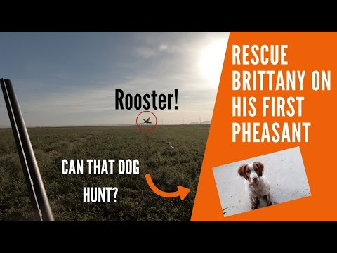 Rescue Brittany Spaniel on His FIRST Pheasant!