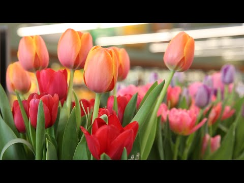 The Business Of Tulips