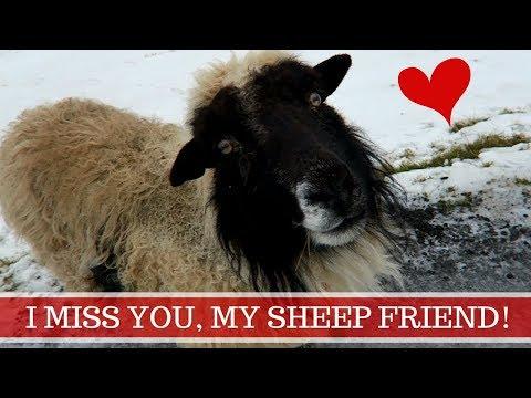 Faroe Islands Winter: My Sheep Friend (Hiking around Nordragota)