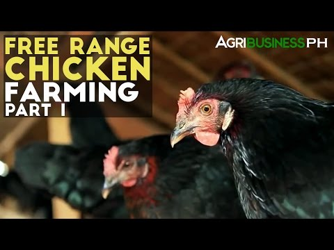 Free Range Chickens Farming Part 1 : Free Range Chickens Far