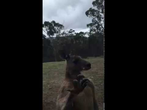 SHOCK VIRAL! Rabid kangaroo trying to break into the house
