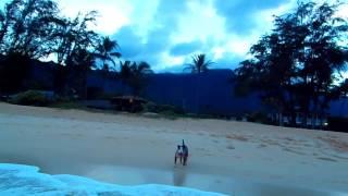 English Bull Terrier Hoku! My Hawaiian Beach Bear