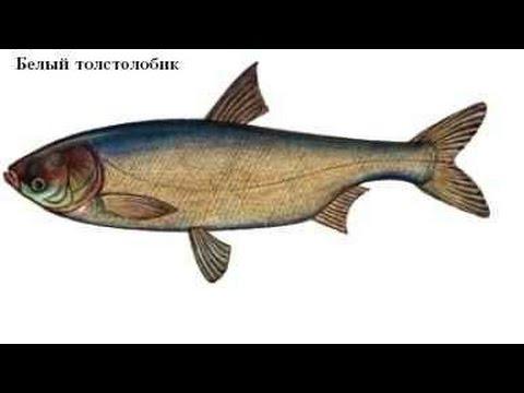 Новая уловистая снасть для ловли толстолоба - YouTube