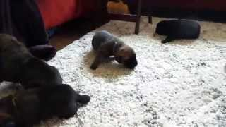 Wags Columbus | Foster Through Peace For Paws | Chocolate Lab Puppies Learning To Crawl!