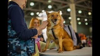 Презентация шалаек на интернациональной выставке собак «Евразия 2019»