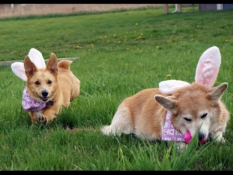 Corgi Easter Egg Hunt!