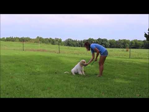 Okefeild Acres Teddybear Goldendoodle Puppies Training Video Garrett