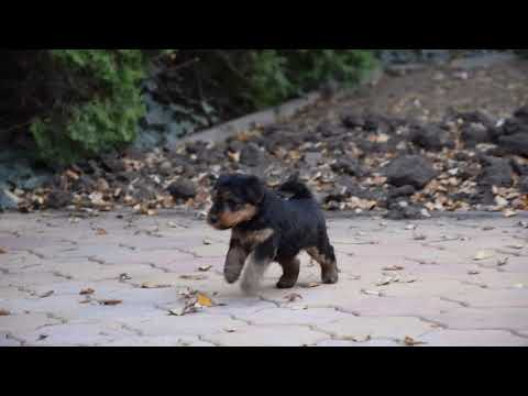 Jazzy - Welsh Terrier Puppy for sale