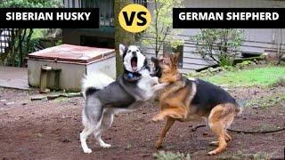 German Shepherd VS Siberian Husky