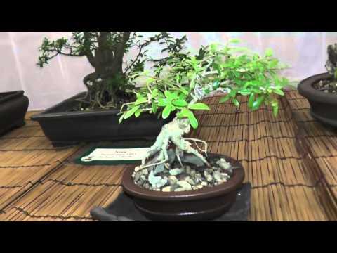 St. Croix Bonsai Society 20th Annual Exhibition