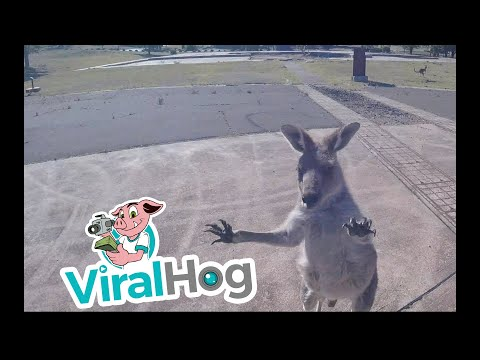 Hoss Michaels - WATCH: Kangaroo Attack Paraglider As He Lands