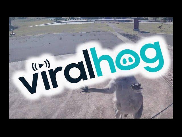 Curious Kangaroo Charges Paraglider || ViralHog