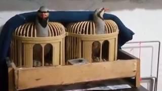 Keklikler Fena Bir Ötüş Show'u Sergiliyor