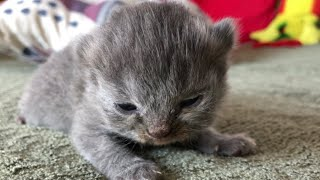 "Scottish Fold & Turkish Angora Breed  Maneki ""Moneyka"" 