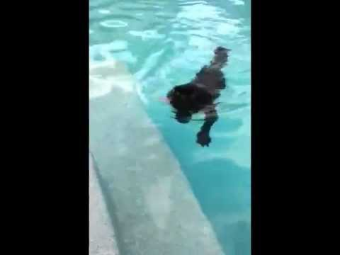 Griffon Dog swimming in pool - miyow & barkley