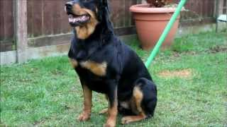 Rottweiler And Kids