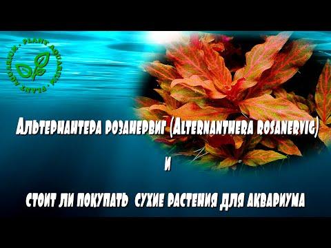 Альтернантера розанервиг (Alternanthera rosanervig) и стоит ли покупать сухие растения для аквариума