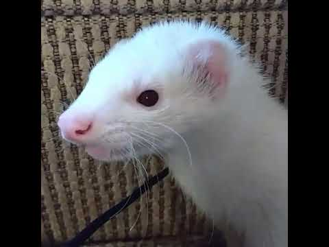Sad Ferret Crying