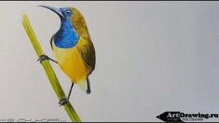 рисуем птичку бюджетными цветными карандашами