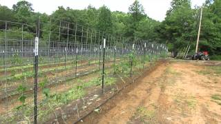 Pruning Luffa Sponge Vines At Luffa Ranch