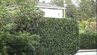 Laurel Hedge..Trimmed--Professionally by Don's Lawns!