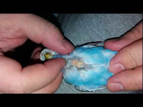 Вопрос: Нормально ли что попугай постоянно линяет?