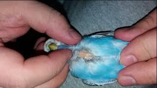 Почему чешутся попугаи? Что делать?