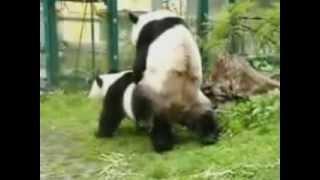 Эти милые панды трахаются тоже так мило!