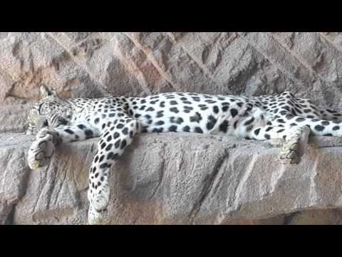 Arabian Leopard at Arabia's Wildlife Centre in Sharjah 21.04.2016