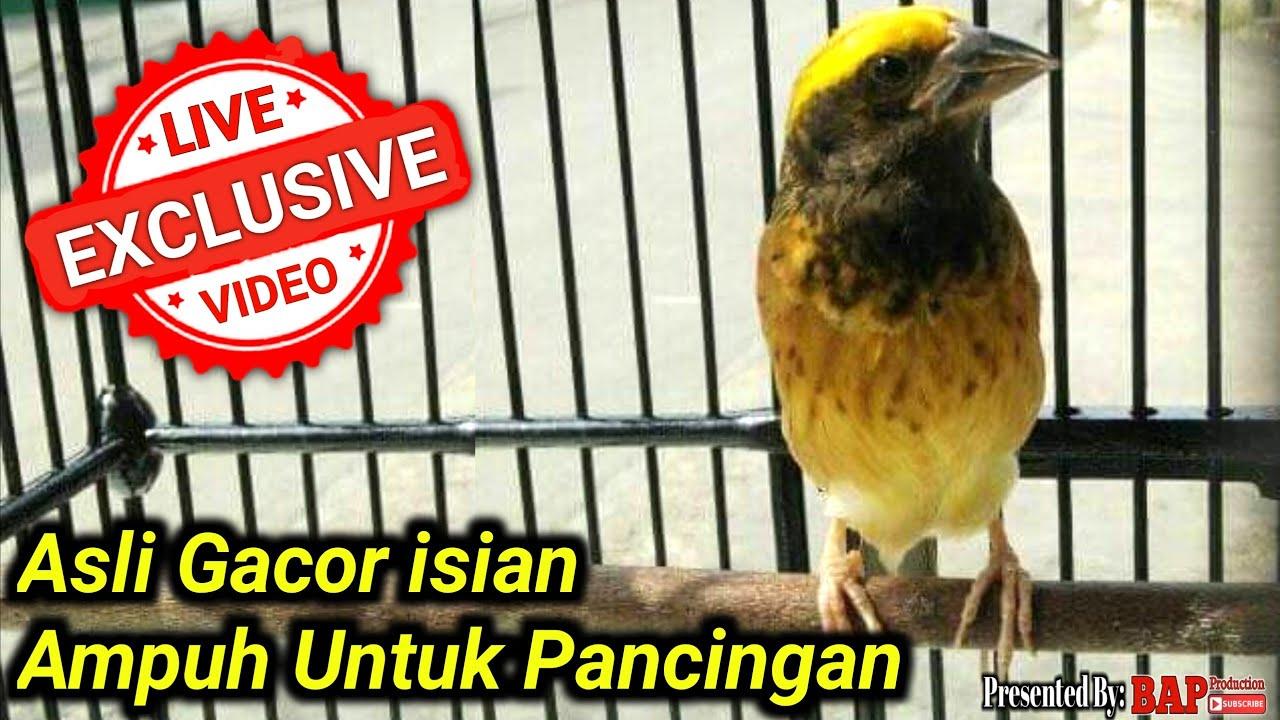 Suara Burung Manyar Gacor Isian Youtube
