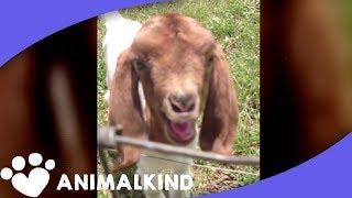 Forget baaaaa. This goat says whaaaaaat?