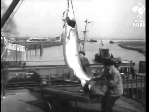 Ловля осетра в Дону в 1957 году. - YouTube