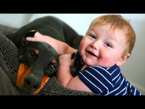 Doberman Babysitter Dogs Playing with Babies Videos – Sweet Dog and Baby Friendship