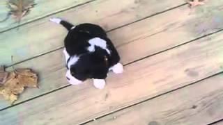 Louisville, Ky Male~ch. Line Cavalier Puppy Sonny