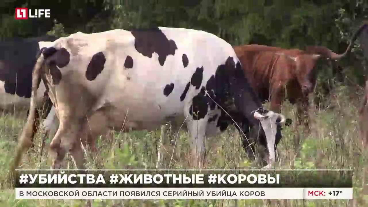 Объявления о продаже коров в туле. Описание, фото, цены на сайте моя реклама.
