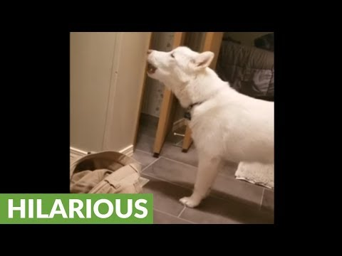 Funny dog howls every time owner takes bath