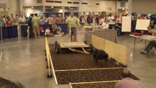 Rottweiler Competing In Reliant Weight Pulling Contest