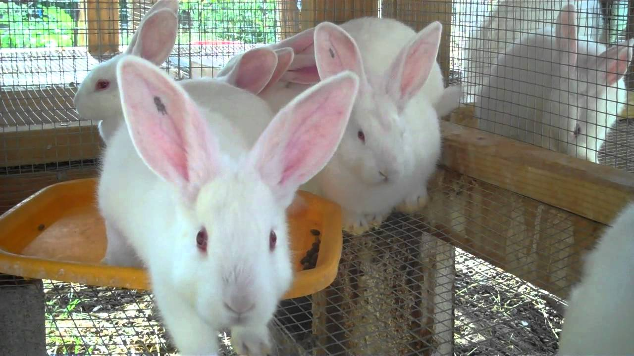 raising new zealand white meat rabbits from start to finish 6