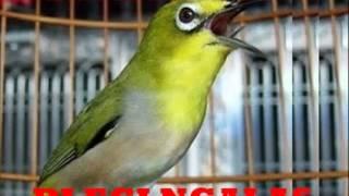 Suara Masteran Burung Pleci Ngalas Masteran Burung Pleci Ngalas 2